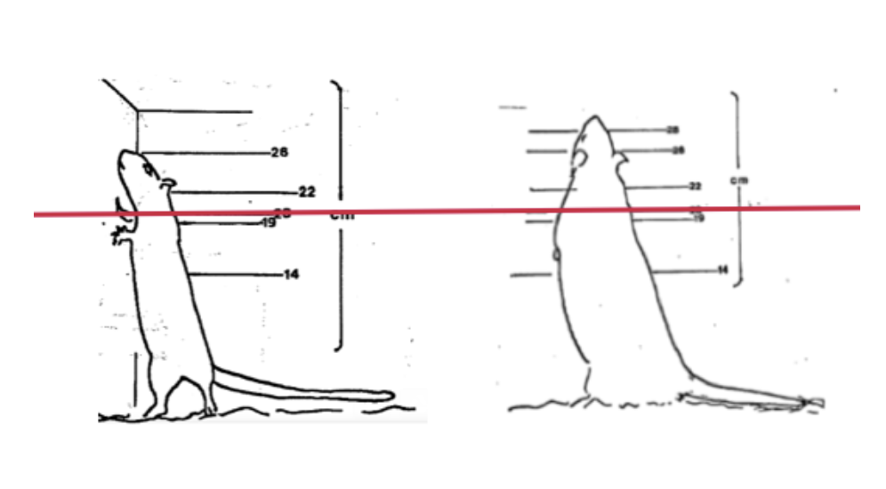 Left: 16 month old male Sprague Dawley rat in a bipedal posture, against examples of different cage heights. Right: rat rearing to over 26 cm at 8 weeks old. The red line is at 20 cm (Source: Universities Federation for Animal Welfare).
