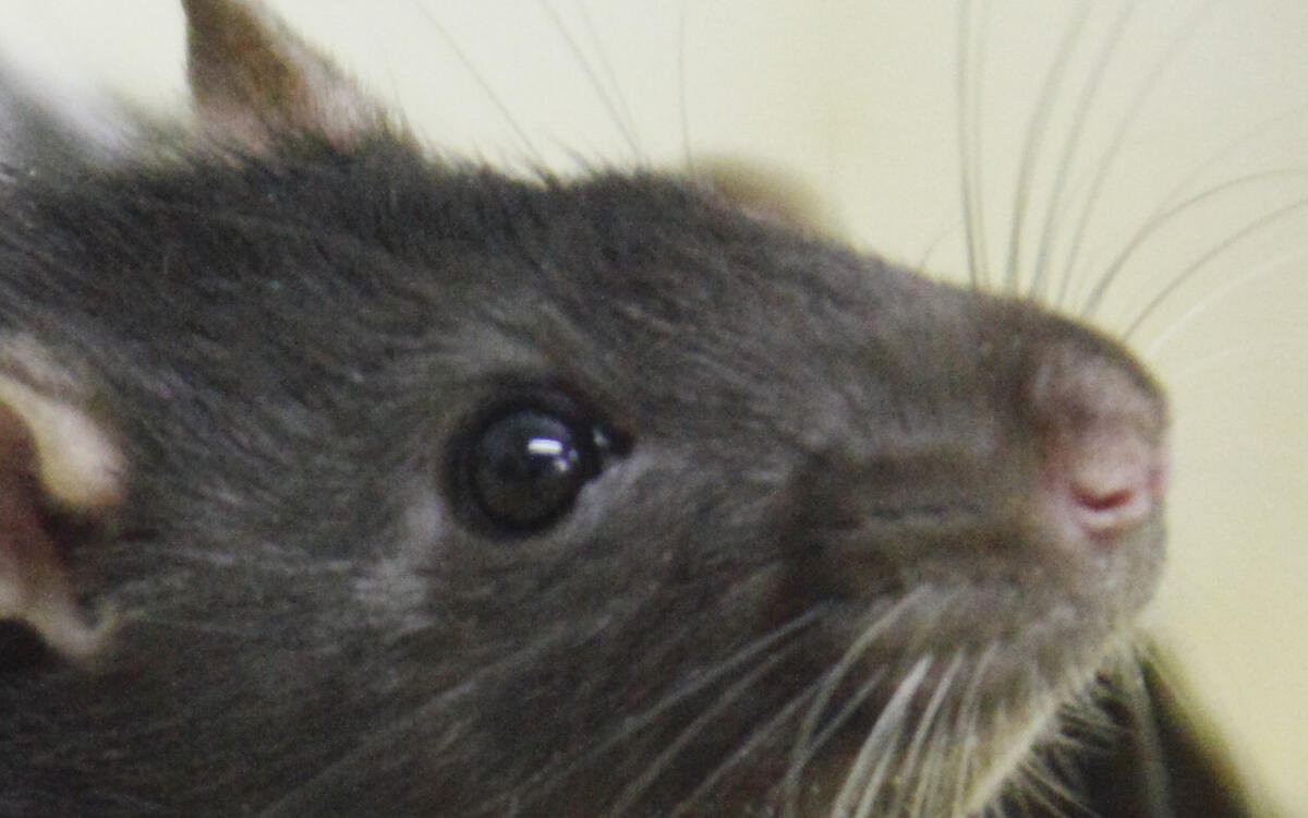 Image of laboratory rat